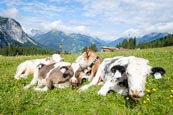 Cows In The Pasture At Ehrwalder Alm, Ehrwald, Tyrol, Austria