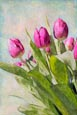 Thumbnail image of Tulips