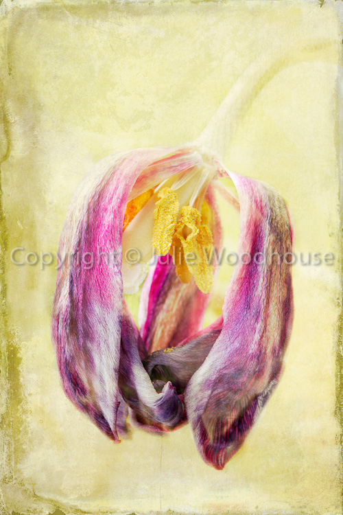 photo showing Faded Tulip 2