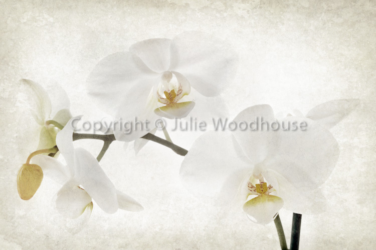 photo showing White Orchid