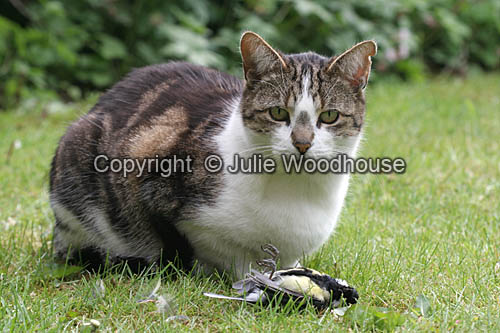 photo showing Tabby / White Cat With Caught Bird