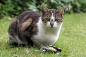 Thumbnail image of Tabby / white Cat with caught bird