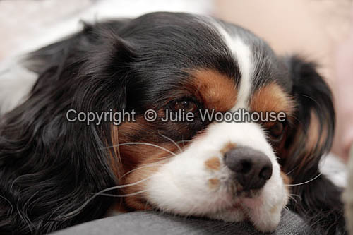 photo showing King Charles Spaniel