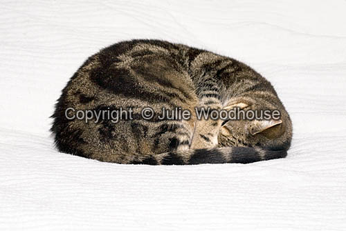 photo showing Tabby Cat Sleeping Curled Up