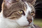 Tabby / White Cat