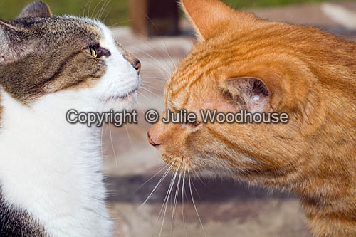 photo showing Two Domestic Cats
