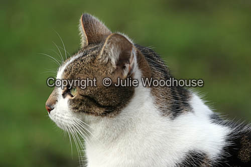 photo showing Tabby / White Cat