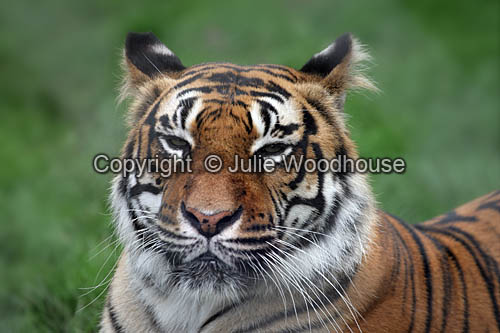 photo showing Amur Tiger (Panthera Tigris Altaica)