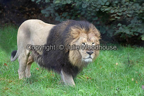 photo showing Asiatic Lion (Panthera Leo Persica)