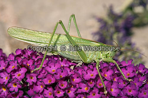 photo showing Great Green Bush Cricket (Tettigonia Viridissima)