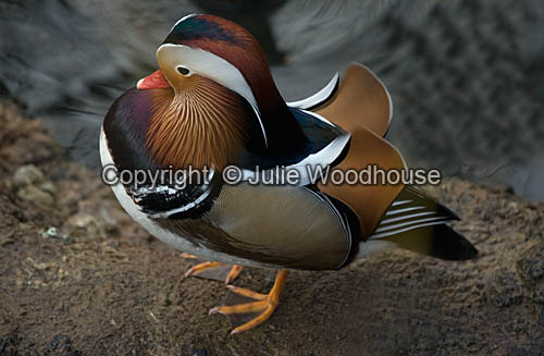 photo showing Mandarin Duck (Aix Galericulata)