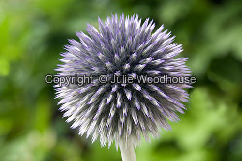 photo showing Globe Thistle (Echinops Bannaticus)