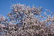 Thumbnail image of Cherry Tree Blossom