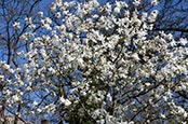 Thumbnail image of Magnolia tree blossum