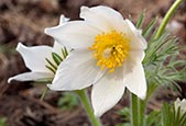 Thumbnail image of Pulsatilla Vulgaris Alba – Pasque Flower