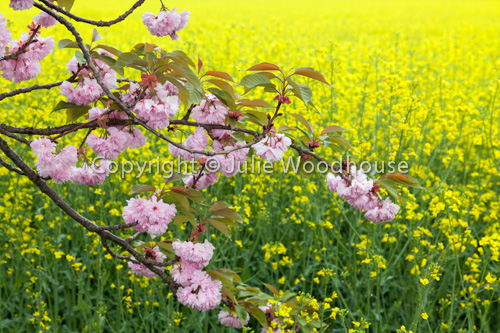 photo showing Cherry Blossom Against Rapeseed