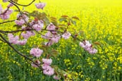 Thumbnail image of Cherry Blossom against rapeseed