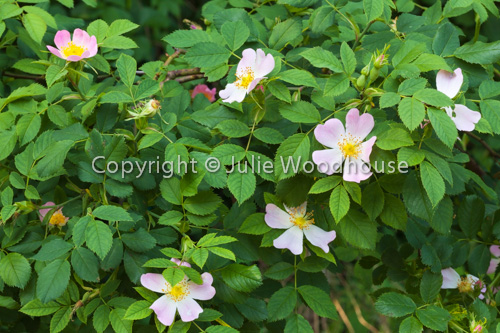 photo showing Wild Rose
