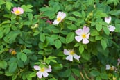 Thumbnail image of Wild Rose
