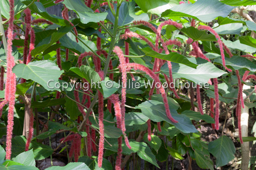 photo showing Acalypha Hispida, Chenille Plant