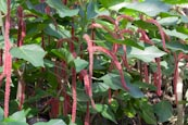 Acalypha Hispida, Chenille Plant