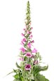 Thumbnail image of Foxglove (Digitalis purpurea)