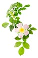 Thumbnail image of Dog Rose (Rosa canina)