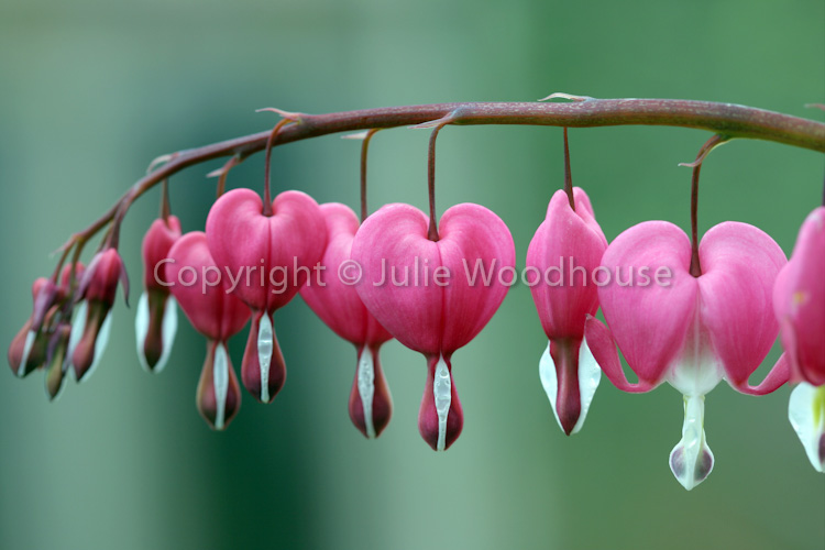 photo showing Bleeding Hearts (Dicentra Spectabilis)