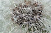 Thumbnail image of Dandelion (Taraxacum officinale)