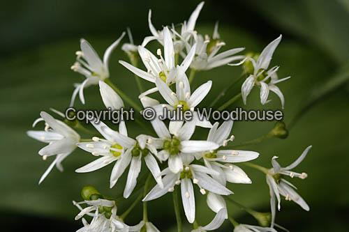photo showing Ramsons (Wild Garlic) Allium Ursinum
