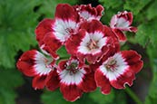 Thumbnail image of Pelargonium - Tip Top