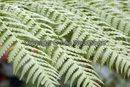 photo showing Tasamanian Tree Fern - Dicksonia Antarctica