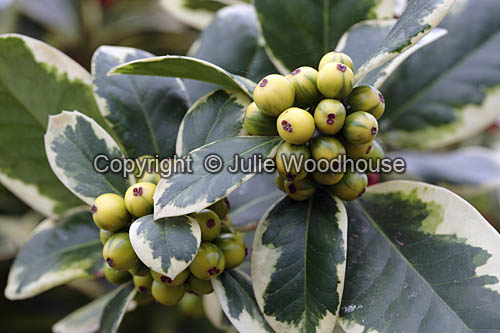 photo showing Ilex Aquifolium Golden Van Tol