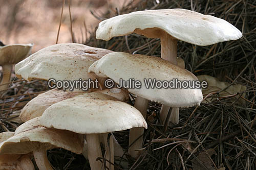 photo showing Spotted Tough-shank (Collybia Maculata)