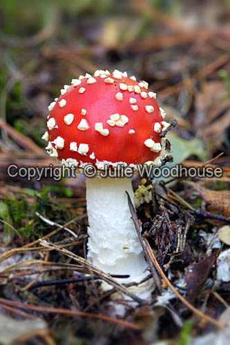 photo showing Fly Agaric - Amanita Muscaria