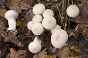 (Common Puffball) Lycoperdon Perlatum