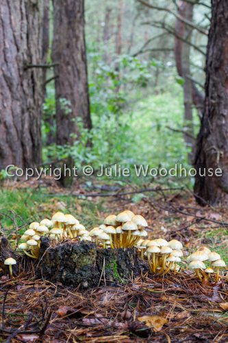 photo showing Honey Fungus