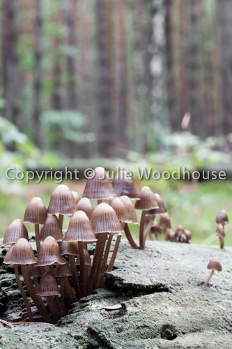 photo showing Coprinellus Disseminatus -Fairies Bonnets