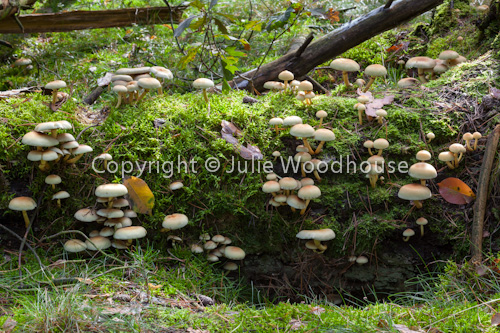 photo showing Sulphur Tufts, Hypholoma Fasciculare
